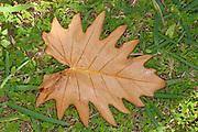Tropical Leaf on forest floor, Fort Dauphin, Madagascar