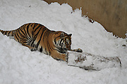 YANTAI, CHINA - DECEMBER 16: (CHINA OUT) <br /> <br /> Two Siberian Tigers Welcome Winter Snow<br /> <br /> Two Siberian Tigers play in the snow at Nanshan Zoo on December 16, 2014 in Yantai, Shandong province of China. Heavy snow fell in China's east Shandong province due to the cold air in coastal areas and Yantai Meteorological Center had issued an orange alert about the ice roads.<br /> ©Exclusivepix Media