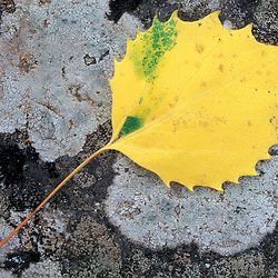 Howe Brook, Baxter State Park, ME..The leaf of a Bigtooth Aspen, populus grandidentata, on lichen and granite.