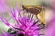 Mating Lulworth skippers mating (Thymelicus acteon) on knapweed. Dorset, UK.