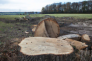 A mature tree felled by contractors for the HS2 high-speed rail link close to Grim's Ditch is pictured on 24th November 2020 in Aylesbury Vale, United Kingdom. Grim's Ditch is a Scheduled Ancient Monument, an earthwork believed to originate in the 1st millennium BC bordered by historically important hedgerows, and the HS2 project is expected to destroy around one-third of a 350-metre section of the ditch.