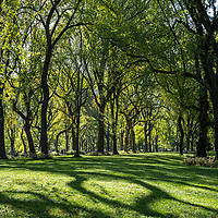 Autumn light is shining through one of the largest and last remaining stands of American Elm trees in North America along The Mall in Central Park, Oct. 21, 2021.