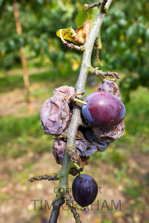 Victoria plums including withered plums on a plum tree in Gloucestershire, England, United Kingdom