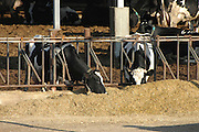 Israel, Jezreel Valley, Two Cows in a dairy farm