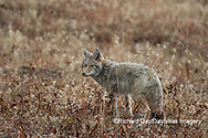01864-03415 Coyote (Canis latrans) Yellowstone National Park, WY