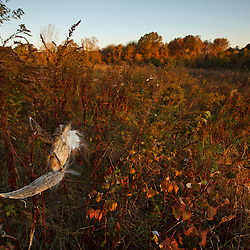 Milkweed pod at Elmwood Farm in Hopkinton, Massachusetts.