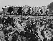 Harvested on Reclaimed Land, Nordstrand Dam, Schleswig-Holstein, 1938