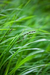 Wood Melick. Melica uniflora