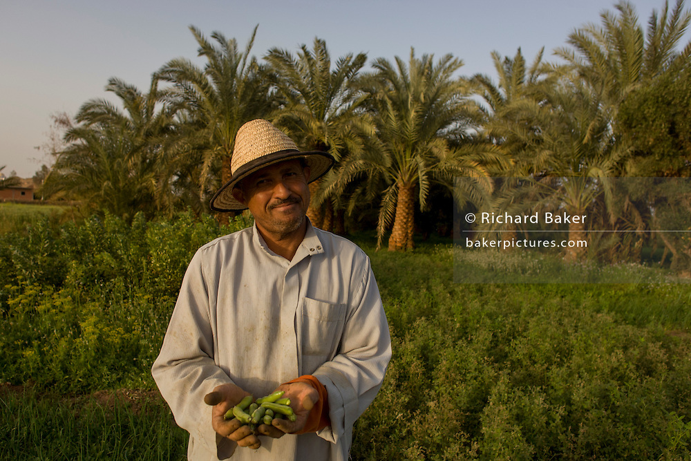 A farmer holds a crop of green beans in front of date palms in fertile fields where agriculture is important for survival, at Bedhal near Dahkla Oasis, Western Desert, Egypt where the availability of water determines the agricultural economic life in an oasis village. Dakhla Oasis consists of several communities, along a string of sub-oases. The main settlements are Mut (more fully Mut el-Kharab and anciently called Mothis), El-Masara, Al-Qasr, Qalamoun, together with several smaller villages. Some of the communities have identities that are separate from each other. Qalamoun has inhabitants that trace their origins to the Ottomans.