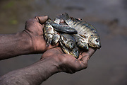 Dani tribe fisherman catch<br /> Budaya village<br /> Suroba<br /> Trikora Mountains<br /> West Papua<br /> Indonesia