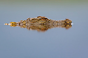 Young nile corcodile (Crocodylus niloticus) in water at Zimanga Private Reserve, South Africa.
