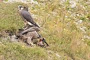 Peregrine (Falco peregrinus) juvenile siblings eat corvid prey. Sussex, UK.