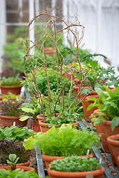 The winter salad leaf collection in a glasshouse at West Dean. Framework over peas