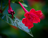 Red Wildflower. Image taken with a Fuji X-H1 camera and 80 mm f/2.8 macro lens
