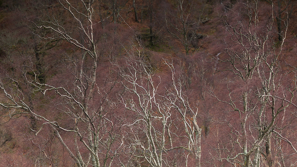 Some lovely, very windswept birch at the top of Shepherd's Crag