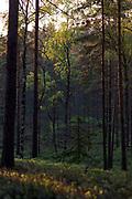 On sides of wooded dunes the setting sun plays with light on pines (Pinus sylvestris) trunks and birch (Betula sp.) leaves, Kemeri National Park (Ķemeru Nacionālais parks), Latvia Ⓒ Davis Ulands | davisulands.com