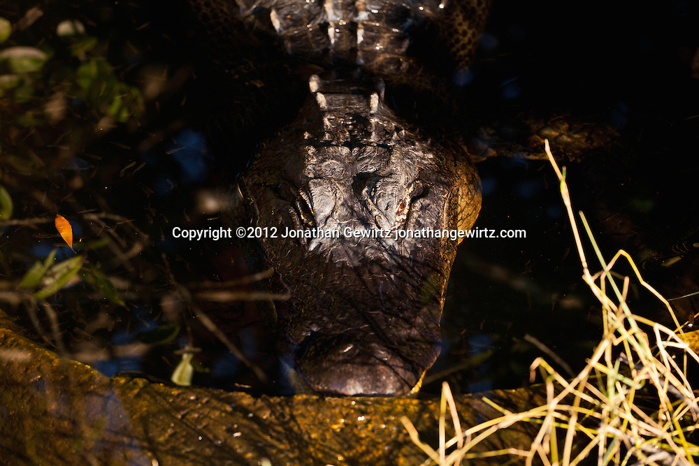 An American alligator (Alligator mississippiensis) rests in an alligator hole, a water-filled limestone hollow, next to the Shark Valley Trail in Everglades National Park, Florida. WATERMARKS WILL NOT APPEAR ON PRINTS OR LICENSED IMAGES.