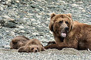 Grizzly bear spring cubs rest alongside their mother on the shore of the lower lagoon at the McNeil River State Game Sanctuary on the Kenai Peninsula, Alaska. The remote site is accessed only with a special permit and is the world's largest seasonal population of brown bears.