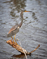Tricolored Heron. Biolab Road, Merritt Island National Wildlife Refuge. Image taken with a Nikon D3x camera and 300 mm f/4 lens (ISO 400, 300 mm, f/5.6, 1/1000 sec).