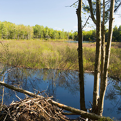 A beaver lodge and pond at the Moose Mountains Reservation in Middleton, New Hampshire.  Socitey for the Protection of New Hampshire Forests preserve.
