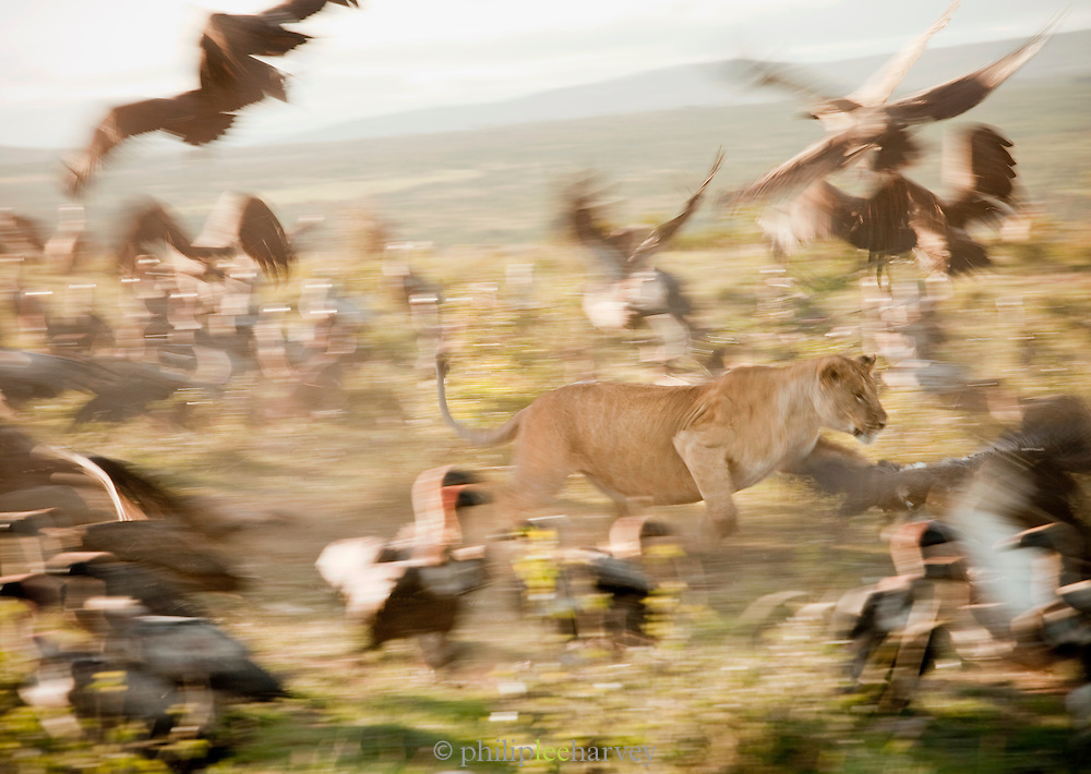 A lioness charges through a colony of vultures, protecting her kill from the scavengers, in Cottars Conservancy in Kenya
