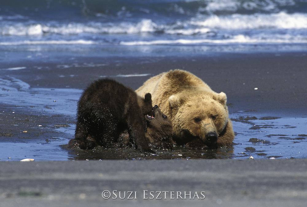 Alaskan Brown Bear<br /> Ursus arctos middendorffi<br /> Sow and playful 4-6 mos old cub (s) on beach<br /> Katmai National Park, AK, USA