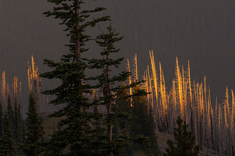 Forest fire damage, evening light, July, view from Deer Park, Olympic National Park, Clallam County,  Washington, USA