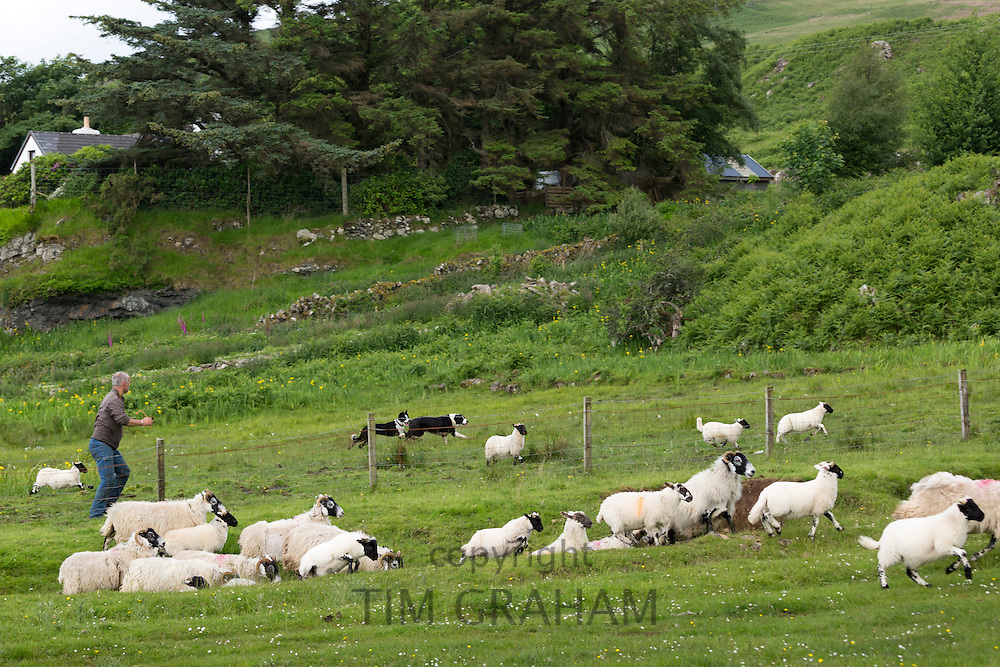 Farmer with working sheepdogs rounding up flock of sheep on Isle of Mull, the Inner Hebrides and Western Isles in West Coast of Scotland