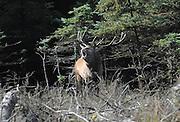 Red deer stag bellowing, rut