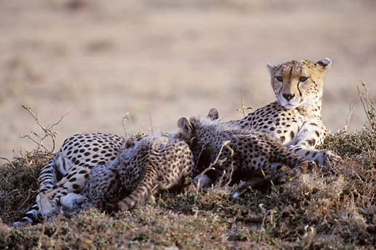 Cheetah, (Acinonyx jubatus) Cubs nursing on mother. Masai Mara Game Reserve. Kenya. Africa.