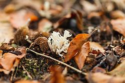Witte koraalzwam, Clavulina coralloides