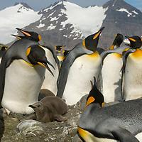 King Penguin parents guard their chick amidst a huge rookery at Salisbury Plain, South Georgia, Antarctica.