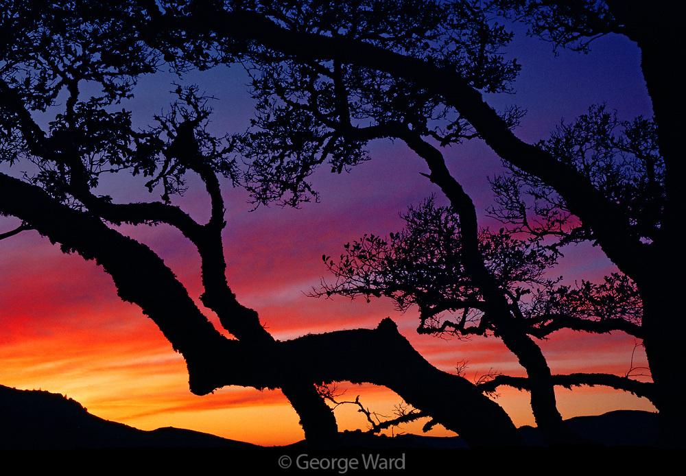 Oak at Sunset, Slopes of Mt. Tamalpais,Marin County, California