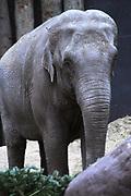 Dierenpark Amersfoort in de winter.<br /> <br /> Op de foto:<br />  In DierenPark Amersfoort wonen zes Aziatische olifanten; vijf vrouwtjes en Alexander de bul. We hopen dat Alexander meerdere vrouwtjes zal dekken zodat we de olifantenkudde kunnen uitbreiden. Olifant Indra is al een keer gedekt door Alexander en is op 10 november bevallen van haar jong Kina.