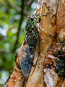 The chorus cicada, Amphipsalta zelandica, is the most common species of cicada in New Zealand, where it is endemic and found in most areas. They typically live in forests and areas with open bush, where their left-over nymph skins can be seen on tree trunks and branches during summer. Cicadas are a superfamily, the Cicadoidea, of insects in the order Hemiptera (true bugs). They have an exceptionally loud song, produced in most species by the rapid buckling and unbuckling of drumlike tymbals. Photographed at Gillespies Beach, near Fox Glacier, in Westland Tai Poutini National Park on the West Coast of New Zealand's South Island.