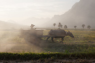 A girl rides her empty Water buffalo cart back to the field to gather more harvested rice. Yen Bai province, Vietnam, Southeast Asia
