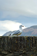 Herring Gull, Larus argentatus, seagull by the coast in North Devon, UK
