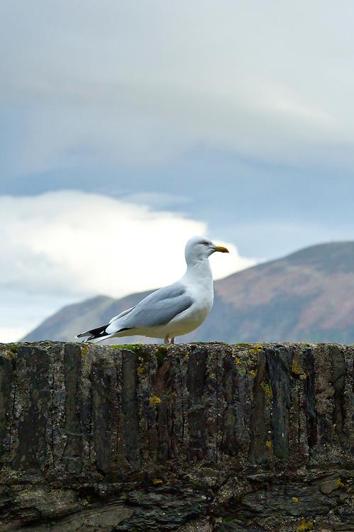 Herring Gull, Larus argentatus, seagull by the coast in North Devon, UK