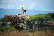 Algarve, Portugal, June 2014. A stork on his nest outside Lagos. A spectacular coastline of steep sandstone cliffs borders hidden sandy beaches on the south western tip of Europe, where the Mediterranean becomes the Atlantic Ocean.  Photo by Frits Meyst / MeystPhoto.com