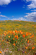 California Poppy (Eschscholzia californica) and Goldfields (Lasthenia californica), Antelope Valley, California