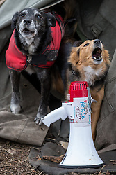 """© Licensed to London News Pictures . 17/03/2014 . Barton Moss , Salford , UK . Dogs at the protest camp bark next to a megaphone with """" Frack Off """" marked on it . Happy Mondays dancer , Bez ( Mark Berry ) , joins protesters at the Barton Moss anti-fracking protest site in Salford today (Monday 17th March 2014) . Bez has said he will stand for MP in the constituency of Salford and Eccles in 2015 . Photo credit : Joel Goodman/LNP"""