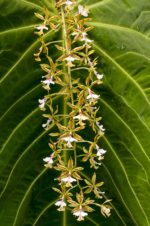 Orchid Strand
