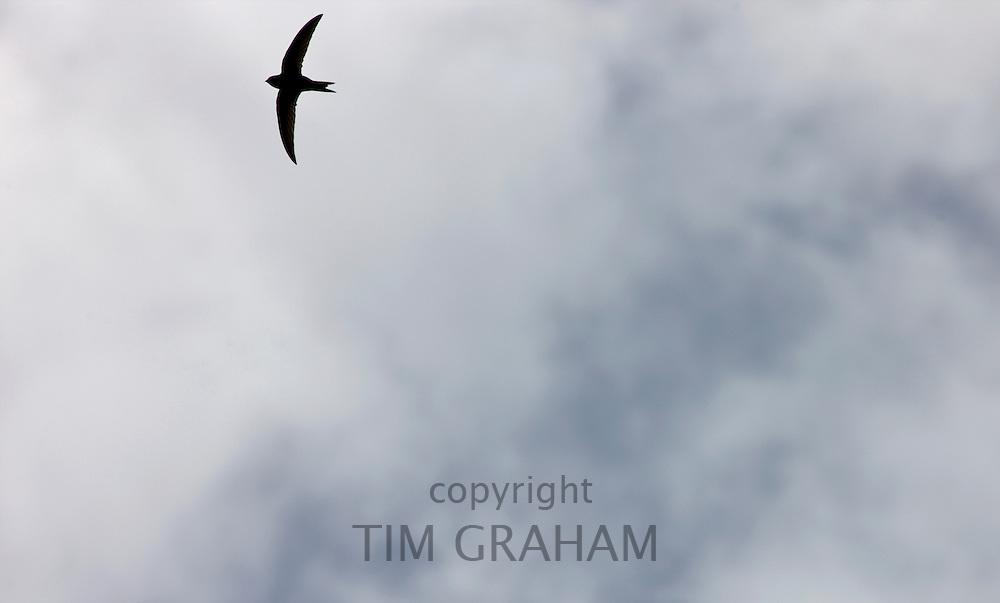Migrating swift, Apus apus,  in the sky in Gloucestershire, UK