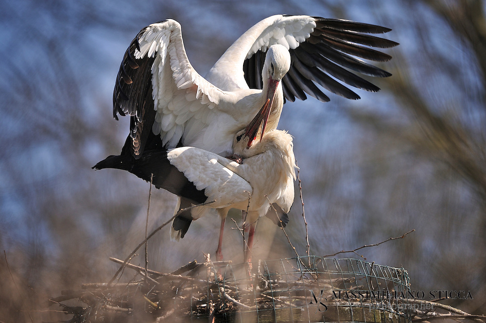 The White Stork (Ciconia ciconia) is a large bird in the stork family Ciconiidae. Its plumage is mainly white, with black on its wings. Adults have long red legs and long pointed red beaks, and measure on average 100â??115 cm (39â??45 in) from beak tip to end of tail, with a 155â??215 cm (61â??85 in) wingspan. The two subspecies, which differ slightly in size, breed in Europe (north to Finland), northwestern Africa, southwestern Asia (east to southern Kazakhstan), and southern Africa. The White Stork is a long-distance migrant, wintering in Africa from tropical Sub-Saharan Africa to as far south as South Africa, or on the Indian subcontinent. When migrating between Europe and Africa, it avoids crossing the Mediterranean Sea and detours via the Levant in the east or the Strait of Gibraltar in the west, because the air thermals on which it depends do not form over water.<br /> A carnivore, the White Stork eats a wide range of animal prey, including insects, fish, amphibians, reptiles, small mammals, and small birds. It takes most of its food from the ground, among low vegetation, and from shallow water. It is a monogamous breeder, but does not pair for life. Both members of the pair build a large stick nest, which may be used for several years. Each year the female can lay one clutch of usually four eggs, which hatch asynchronously 33â??34 days after being laid. Both parents take turns incubating the eggs and both feed the young. The young leave the nest 58â??64 days after hatching, and continue to be fed by the parents for a further 7â??20 days.
