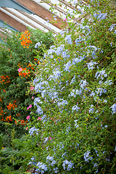 Plumbago auriculata, syn. P. capensis growing in the glasshouse at Parham House. Cape leadwort