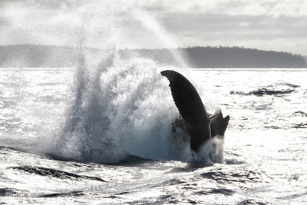 Humpback whale (Megaptera novaeangliae) performing a dramatic tail slash on an overcast day, resulting in a wall of ocean spray. Photographed in Vava'u, Kingdom of Tonga.