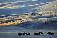 American Bison, Bison bison, Lamar valley, Yellowstone National Park, Wyoming, USA
