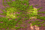 Ivy on a wall in Shelburne Falls, Massachusetts.