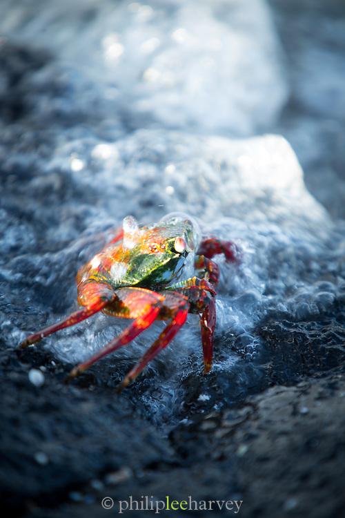 A Sally Lightfoot crab on volcanic rock and surf, North Fernandina Island, Galapagos, Ecuador, South America