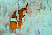 False Clownfish (Amphiprion ocellaris) in a sea anemone in Komodo National Park, Indonesia that has been bleached by warm water.